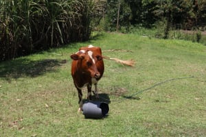 The Water Project: Shivagala Community, Alois Chiedo Spring -  Cattle Grazing