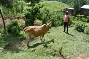The Water Project: Malanga Community, Malava Housing Spring -  Grazing Cow