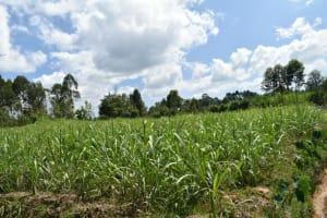 The Water Project: Malanga Community, Malava Housing Spring -  Sugarcane Farm