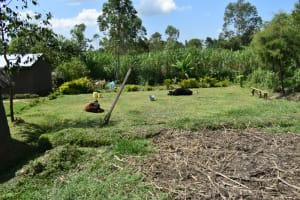 The Water Project: Malanga Community, Malava Housing Spring -  Cows Laying In The Sun