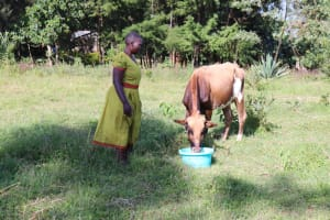 The Water Project: Mbande Community, Handa Spring -  Watering Her Cow