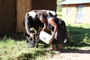 The Water Project:  Watering Her Cow That Just Gave Birth