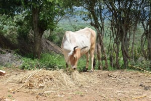 The Water Project: Lema Community A -  Cattle Grazing