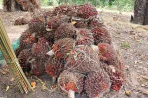The Water Project: Kamasondo, Masome Village -  Palm Kernel Clusters