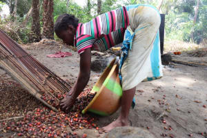 The Water Project: Kamasondo, Masome Village -  Woman Removing Palm Kernel From The Ground