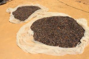The Water Project: Lokomasama, Bompa Morie Village -  Palm Kernel Drying