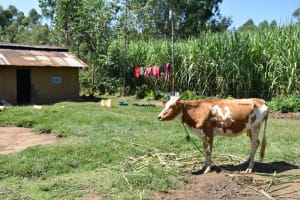 The Water Project: Shivagala Commmunity, Wekoye Spring -  Cow Grazing Outside A Home