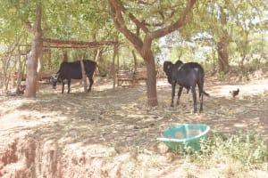 The Water Project: Kyamwalye Community -  Animal Pen
