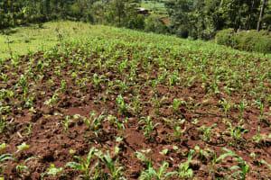 The Water Project: Bumira Community, Savai Spring -  Maize Farm