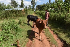 The Water Project: Bumira Community, Savai Spring -  Tending To His Livestock