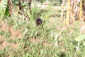 The Water Project: Khunyiri Community, Edward Spring -  Animal Grazing