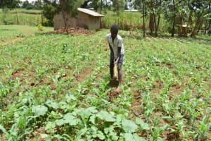 The Water Project: Nangurunya Community, Robert Musali Spring -  Abel Weeding Maize