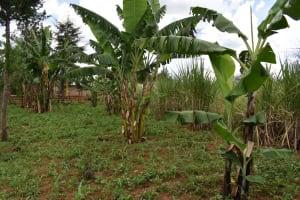 The Water Project: Nangurunya Community, Robert Musali Spring -  Banana Stalk In The Farm