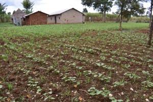 The Water Project: Nangurunya Community, Robert Musali Spring -  Maize Field