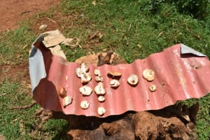 The Water Project: Nangurunya Community, Robert Musali Spring -  Mushrooms Sundrying On A Piece Of Iron Sheet