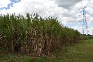 The Water Project: Nangurunya Community, Robert Musali Spring -  Sugarcane Farm