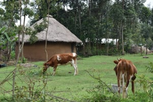 The Water Project: Sundulo B Community, Luvisia Spring -  Animals Grazing