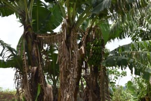 The Water Project: Sundulo B Community, Luvisia Spring -  Banana Plantation