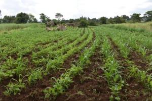 The Water Project: Sundulo B Community, Luvisia Spring -  Farming In Sundulo B Village