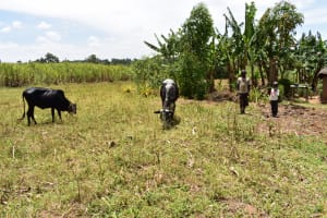The Water Project: Ematetie Community, Amasetse Spring -  Children Grazing Cows