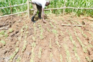 The Water Project: Musango Community, Wambani Spring -  Planting Grass Above Catchment Area