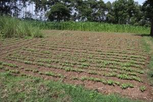 The Water Project: Bukhakunga Primary School -  School Kitchen Garden With Vegetables