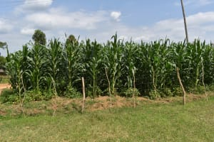 The Water Project: Mutoto Primary School -  Small Garden Of Maize
