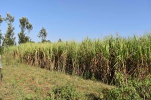 The Water Project: Iyala Community, Iyala Spring -  Sugarcane Plantation