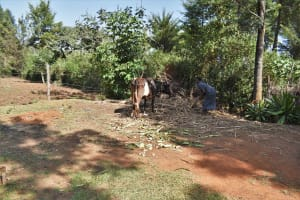 The Water Project: Muhoni Community, Kekongo Forest Spring -  Feeding Cow