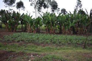 The Water Project: Chombeli Community, Ernest Kuta Spring -  Banana Plantation