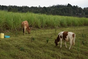 The Water Project: Chombeli Community, Ernest Kuta Spring -  Cattle Grazing