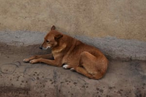 The Water Project: Chombeli Community, Ernest Kuta Spring -  Dog