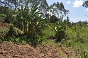 The Water Project: Muting'ong'o Community, Chivuyi Spring -  Banana Plantation