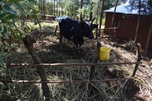 The Water Project: Muting'ong'o Community, Chivuyi Spring -  Cow In Pen