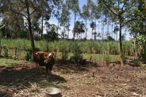 The Water Project: Muting'ong'o Community, Chivuyi Spring -  Grazing