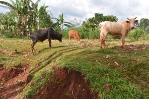 The Water Project: Shivakala Community, Mukangu Spring -  Cows Grazing