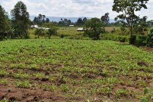 The Water Project: Mang'uliro Community, Christopher Wambula Spring -  Maize Farm