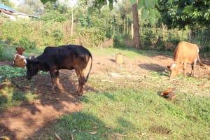 The Water Project: Murumba Community, Patrick Muyembere Spring -  Cows Grazing