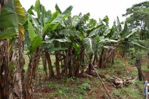 The Water Project: Chimoroni Community, Maurice Luta Spring -  Banana Plantation
