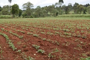 The Water Project: Chimoroni Community, Maurice Luta Spring -  Maize Farm