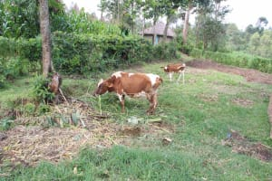 The Water Project: Shiana Community, Masiache Spring -  Cows Grazing