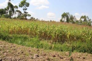 The Water Project: Shiana Community, Masiache Spring -  Maize Plantation