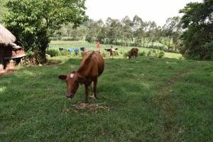 The Water Project: Mungakha Community, Mungakha Spring -  Cow Grazing
