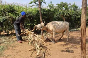 The Water Project: Makunga Community, Akinda Spring -  Harron Akinda Feeding His Cow