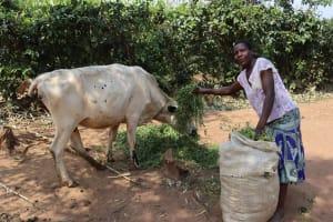 The Water Project: Makunga Community, Akinda Spring -  Hellen Feeding Animal