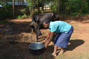 The Water Project: Makunga Community, Akinda Spring -  Hellen Watering Cow