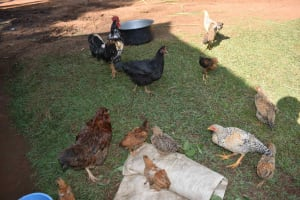 The Water Project: Makunga Community, Akinda Spring -  Chickens Outside