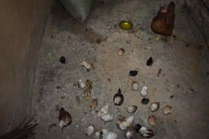 The Water Project: Makunga Community, Malaha Spring -  Chicks Feeding