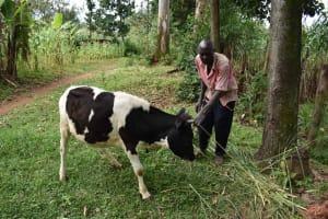 The Water Project: Makunga Community, Malaha Spring -  Julias Feeding His Cow