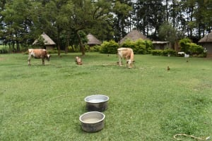 The Water Project: Makunga Community, Malaha Spring -  Animals Grazing